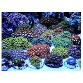 coral zoanthus import md diversos