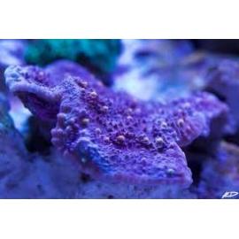coral echinophylia aspera md