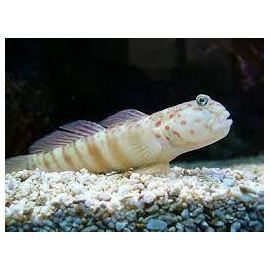 goby watchman pink and blue