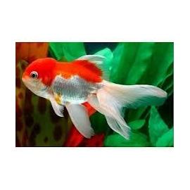 kinguio oranda red white gr