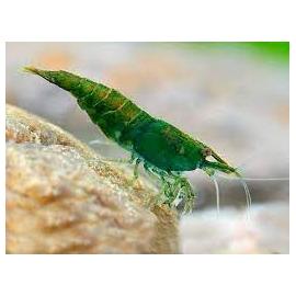 camarao green jade