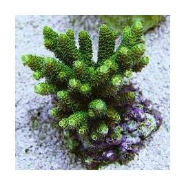 coral acropora millepora green pq