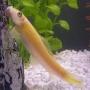 Comedor de algae eater gold  gr
