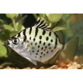 scatophagus silver