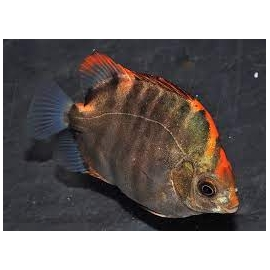scatophagus red
