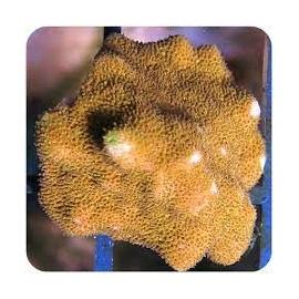 coral psamacora shazam pq