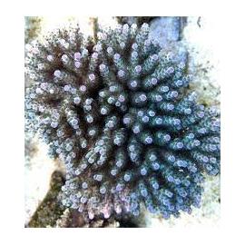 coral acropora guava gr