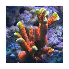 coral montipora digitata forest fire md