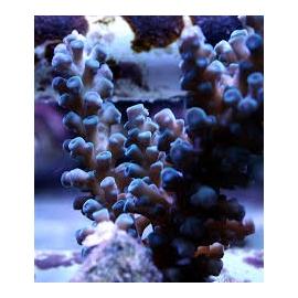 coral acropora gomezi blue md