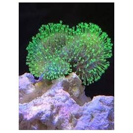 coral leather umbrella pq