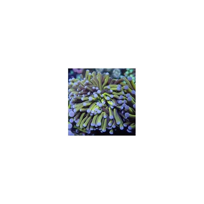 Coral Torch Gold stem 2 Bocas