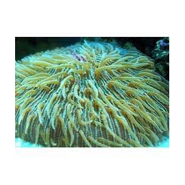 coral plate green md