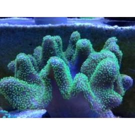 Coral Leather Devil branch Gr
