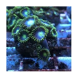 coral zoanthus baby blue md