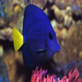 Tang purple md