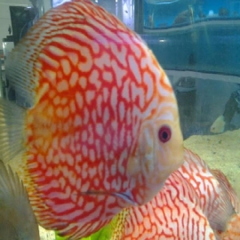Acara disco checkerboard  10 cm