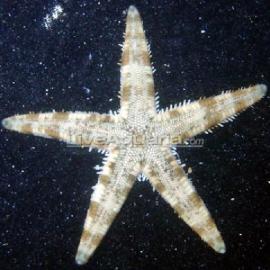 Estrela Substrato