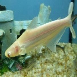 Pangasius albino peq
