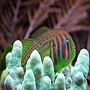 Goby coralgoby green