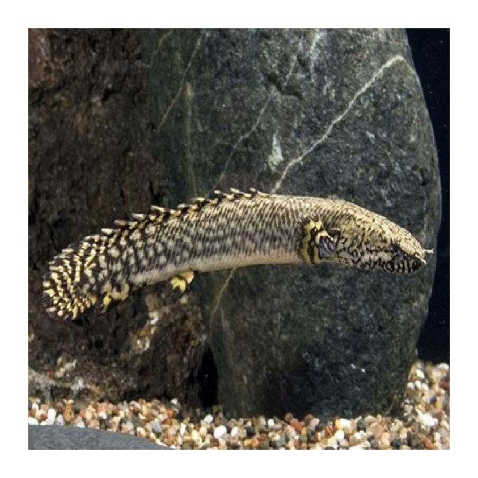 Polypterus delhezi md