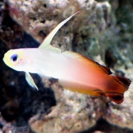Goby fire fish