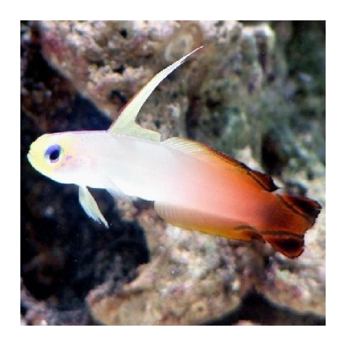Goby Fire Fish gr