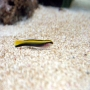 Goby neon yellow