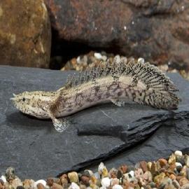 Polypterus endlicherii