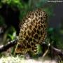 Gourami Leopardo pq