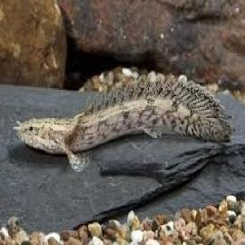 Polypterus endlicherii gr