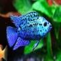 Jack dempsey blue import gr