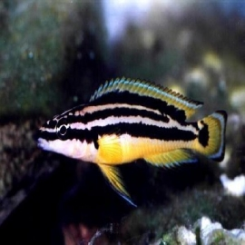Cicl julidochromis ornatus