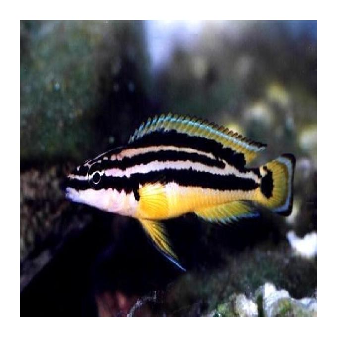Cicl julidochromis ornatus