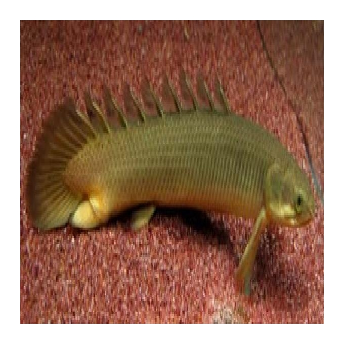 Polypterus senegalus comun  15 cm