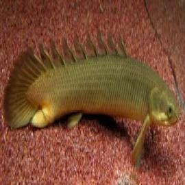 Polypterus senegalus comun md