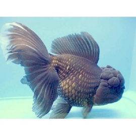 Kinguio oranda blue scale pq