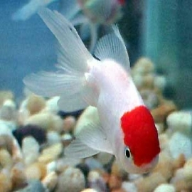 Kinguio oranda red cap med