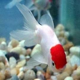 Kinguio oranda red cap med