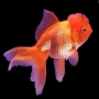 Kinguio oranda red md