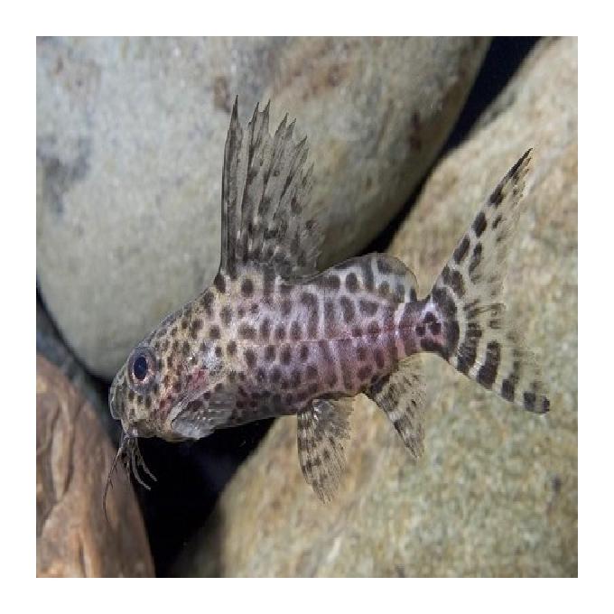 Synodontis eupterus md