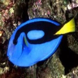Tang Hepatus 04cm