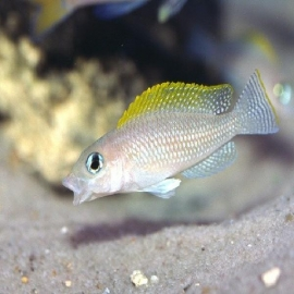 Cicl neolamprologus caudopunctatus pq