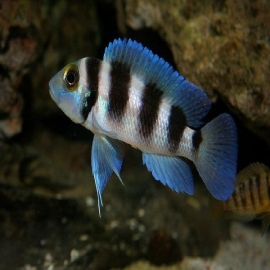 Cicl neolamprologus fiver bar md
