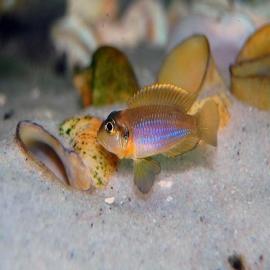 Cicl neolamprologus ocellatus gold pq