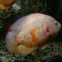 Oscar albino red tigre peq
